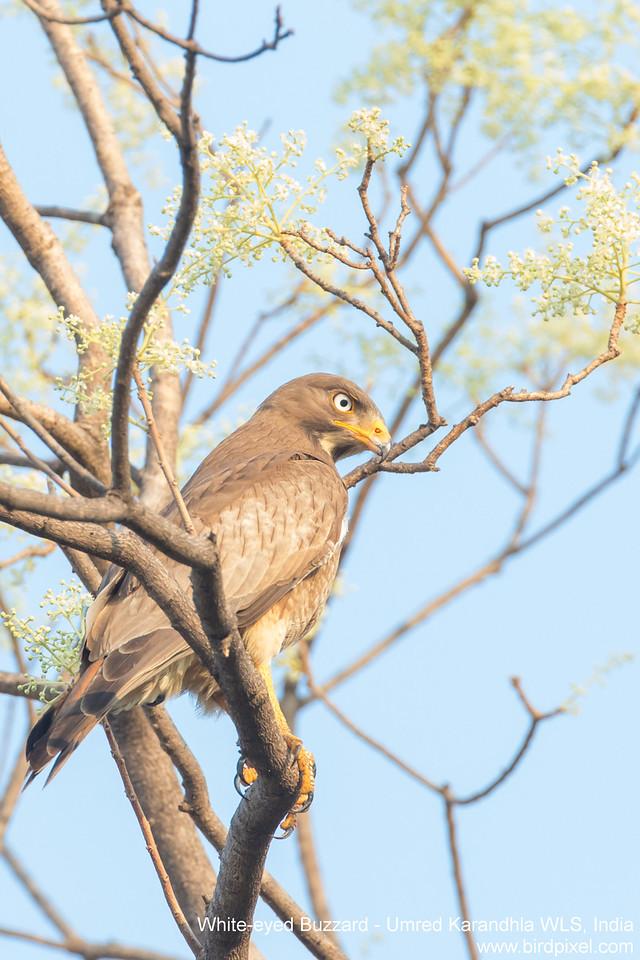 White-eyed Buzzard - Umred Karandhla WLS, India