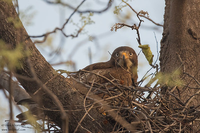 White-eyed Buzzard - Umred Karandhla WLS, India