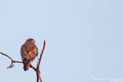 White-eyed Buzzard - Maharashtra, India