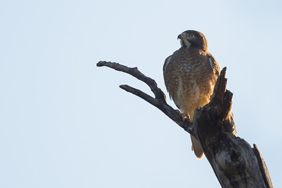 White-eyed Buzzard - Pench National Park, Madhya Pradesh, India