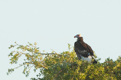White-headed Vulture - Serengeti National Park, Tanzania