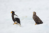 Steller's Sea-Eagle & White-tailed Eagle - Hokkaido, Japan