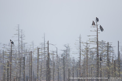 White-tailed Eagles and Steller's Sea-Eagles on trees - Hokkaido, Japan