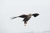 White-taile Eagle - Hokkaido, Japan