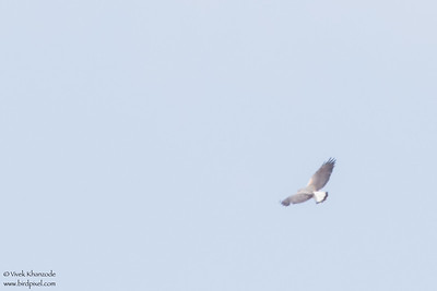 White-tailed Hawk - Record - Western Highway, Belize