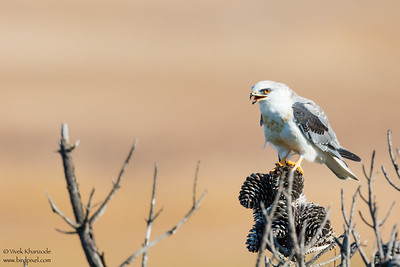White-tailed Kite - Fremont, CA, USA