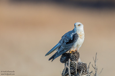 White-tailed Kite - Fremont, CA, USA