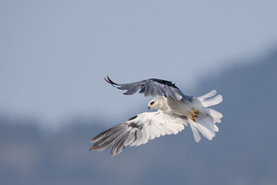 White-tailed Kite - Wavecrest, Half Moon Bay, CA, USA