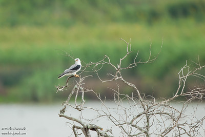 White-tailed Kite - Weslaco, TX, USA