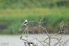 White-tailed Kite - Weslaco, TX, USA