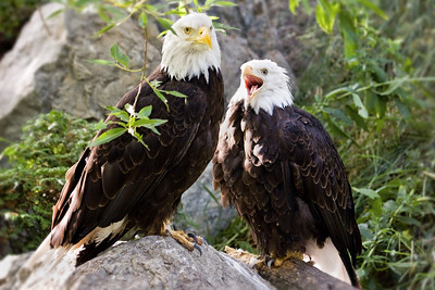 Pair of bald eagles at the Calgary Zoo.