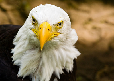 Bald eagle at the Calgary Zoo gives a quisical look towards the camera