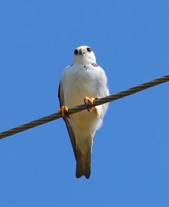 Pearl Kite