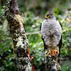 Chilean Hawk (Accipiter chilensis)