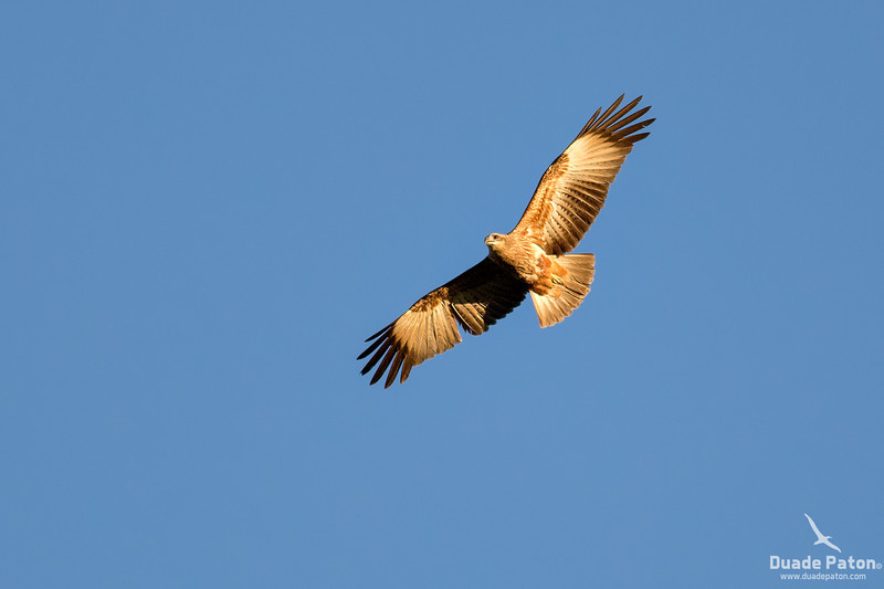 Brahminy kite - Juvenile