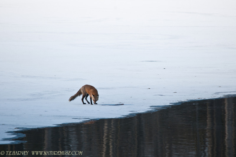 Fox nearing the fish