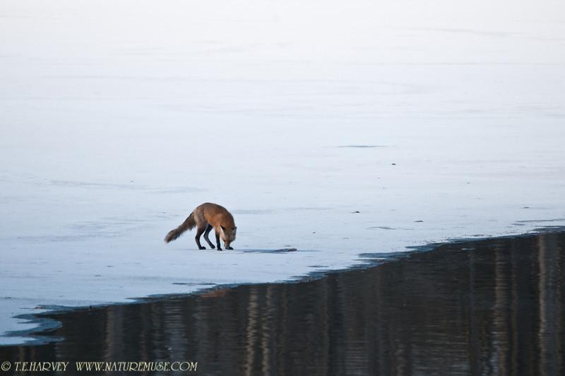 Fox nearing the fish