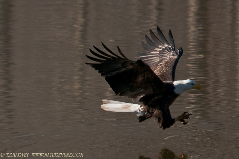 Adult Bald Eagle about to catch a fish. There were about 15 eagles perched and fishing in a cove in Clifton, Va.  I had been photographing eagles perched in trees, when I turned around and spotted this eagle diving for a fish.  After the successful catch, the eagle flew to a tree to enjoy the fish.  The next day, there were 12 eagles within 20 yards of each other perched in two trees providing more photo ops.