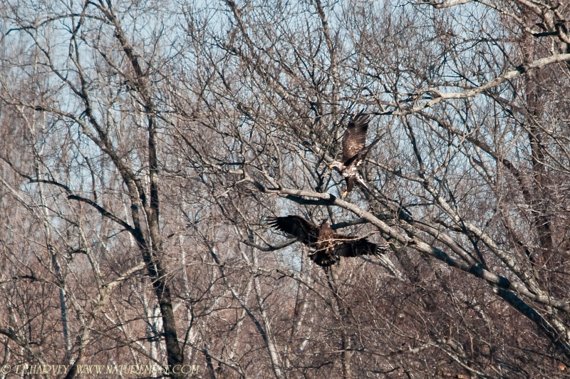 Young Bald Eagles playing