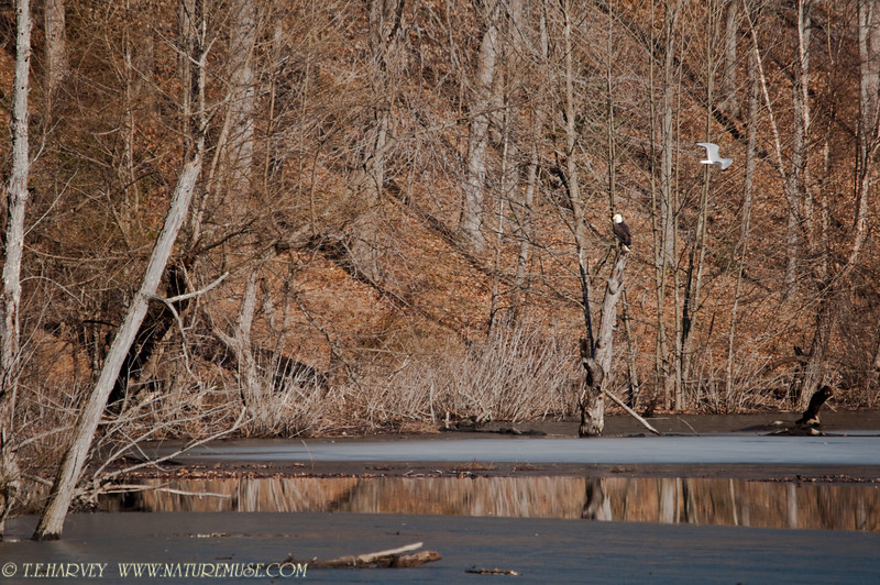 Bald Eagle fishing above ice in a cove, Clifton, VA.