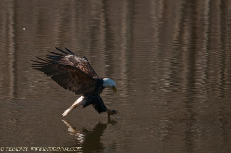 Adult Bald Eagle nearing a catch.