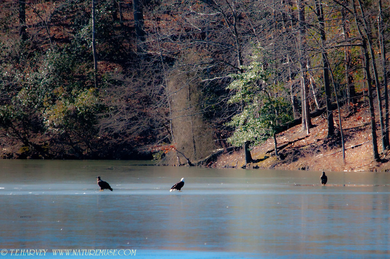 Bald Eagles on Ice-one adult and two young. Clifton, VA.