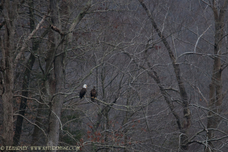 Adult and young eagle