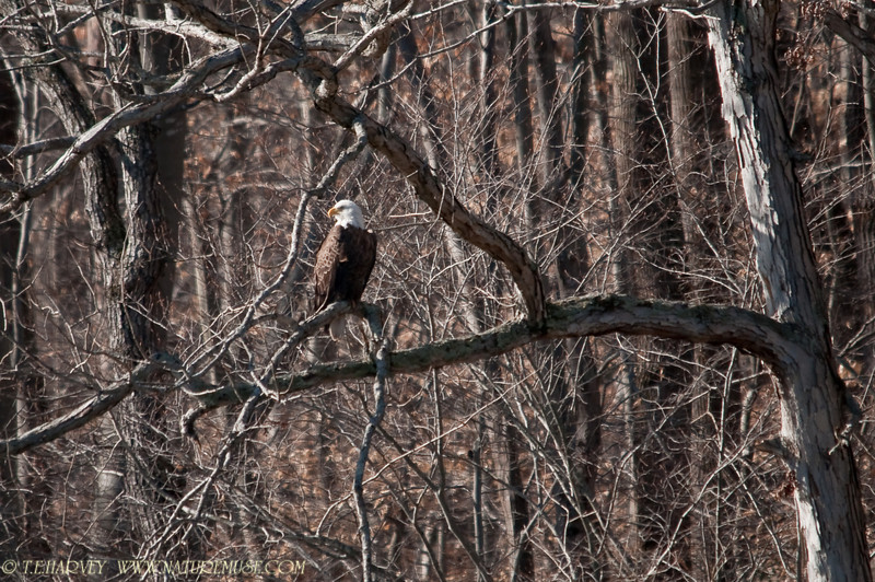 Bald Eagle, Clifton, VA.
