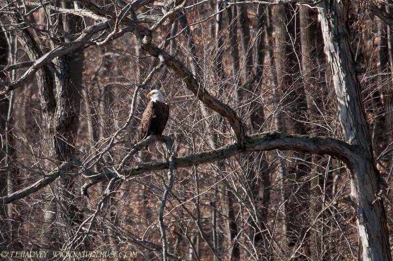 Bald Eagle, Clifton, VA.