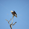 Bald eagle stretches its wings as it perches on top of a dead tree