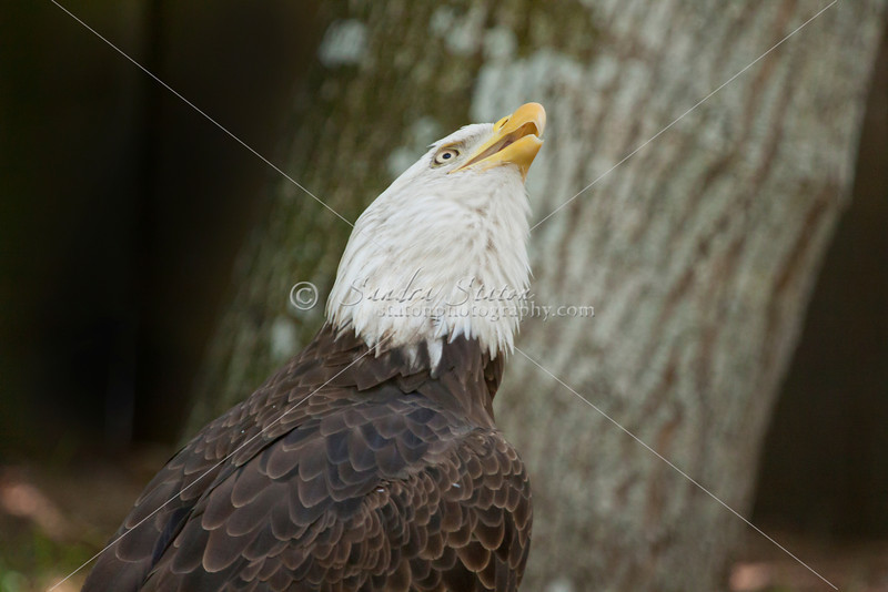 Bald eagle looking up