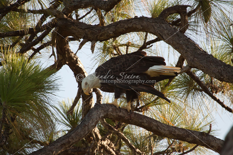 Mature bald eagle in tall pine tree.