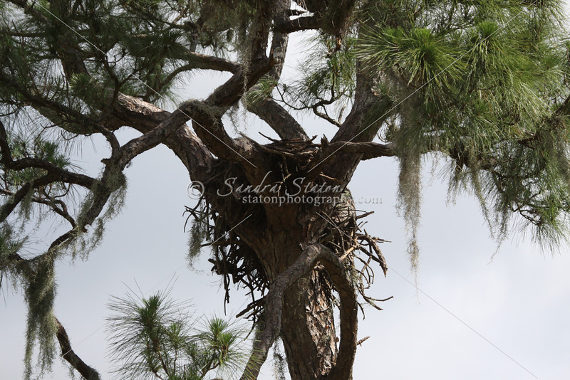 Bald eagle nest with two chicks in the top of a tall pine tree.