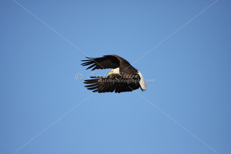 Bald eagle graceful in flight