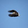 Bald eagle graceful in flight