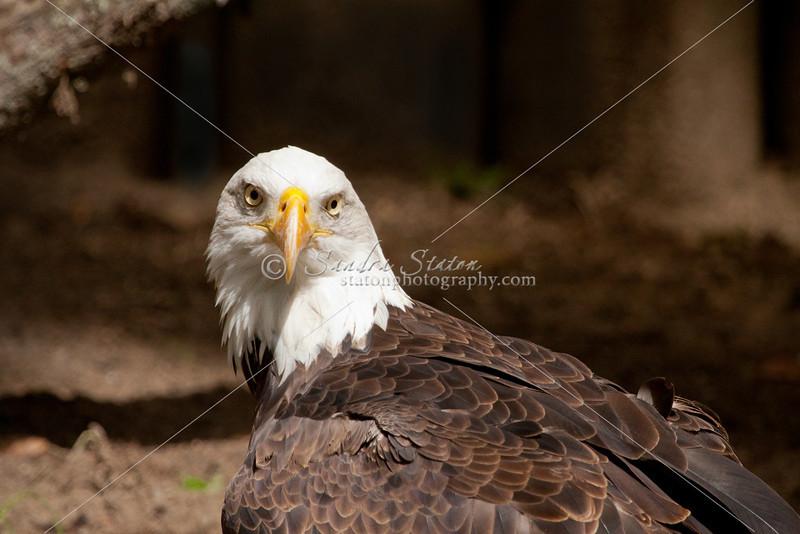 Bald eagle looking at camera