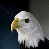 Mature bald eagle's head