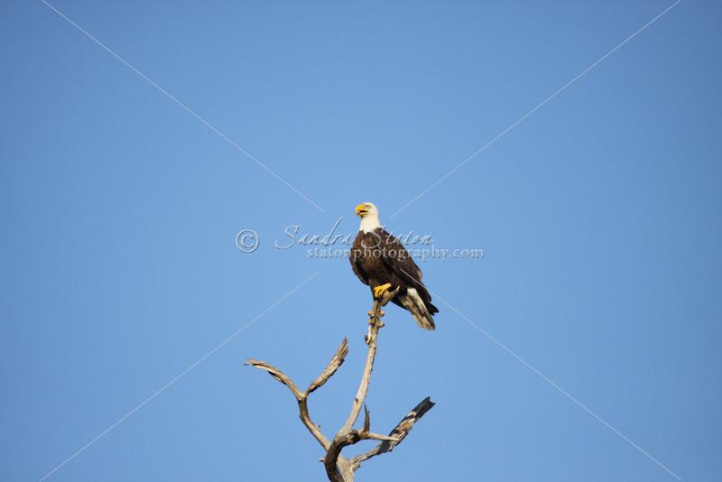 Mature bald eagle in dead tree