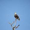 Mature bald eagle in dead tree