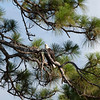 Bald eagle in longleaf pine tree