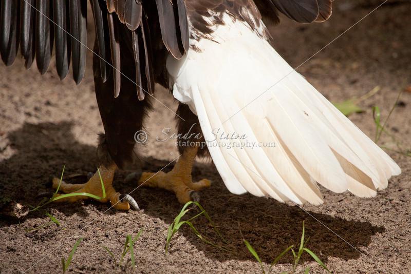 Injured bald eagle in captivity