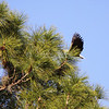 Bald eagle arrives at nest with two chicks in the top of a tall pine tree.