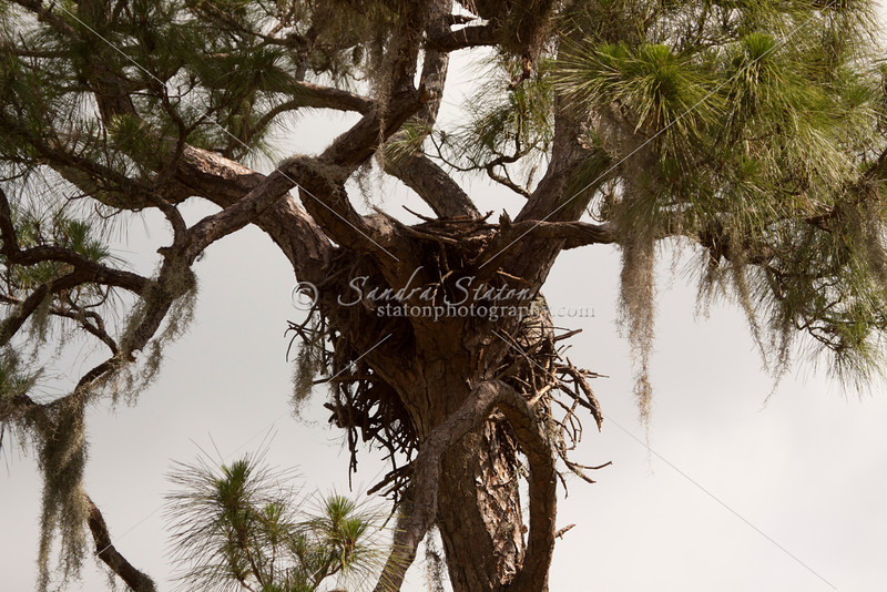 Bald eagle's nest in the forks of a tall pine tree with two chicks in the nest.