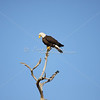 Bald eagle perches on top of a dead tree