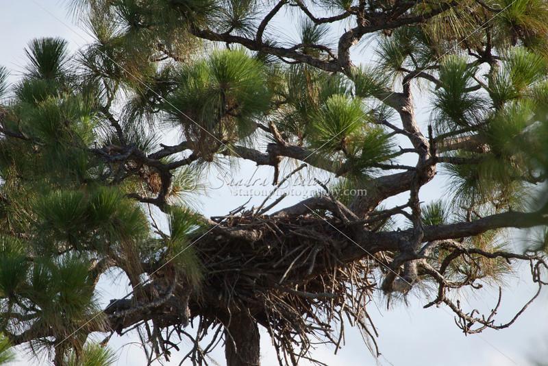 Bald eagle nest high in longleaf pine tree
