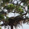 Bald eagle nest high in longleaf pine tree