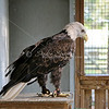 Injured bald eagle in captivity