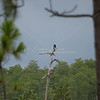 Bald eagle sitting on dead pine tree