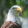 Captive, Bald eagle watching