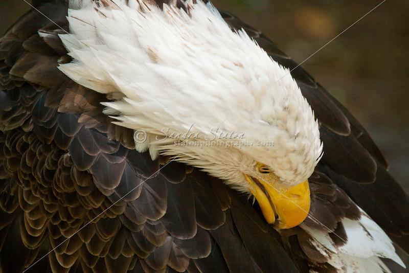 Bald eagle preening itself